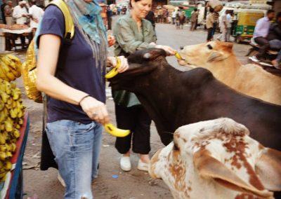 Feeding Cows at Old Delhi
